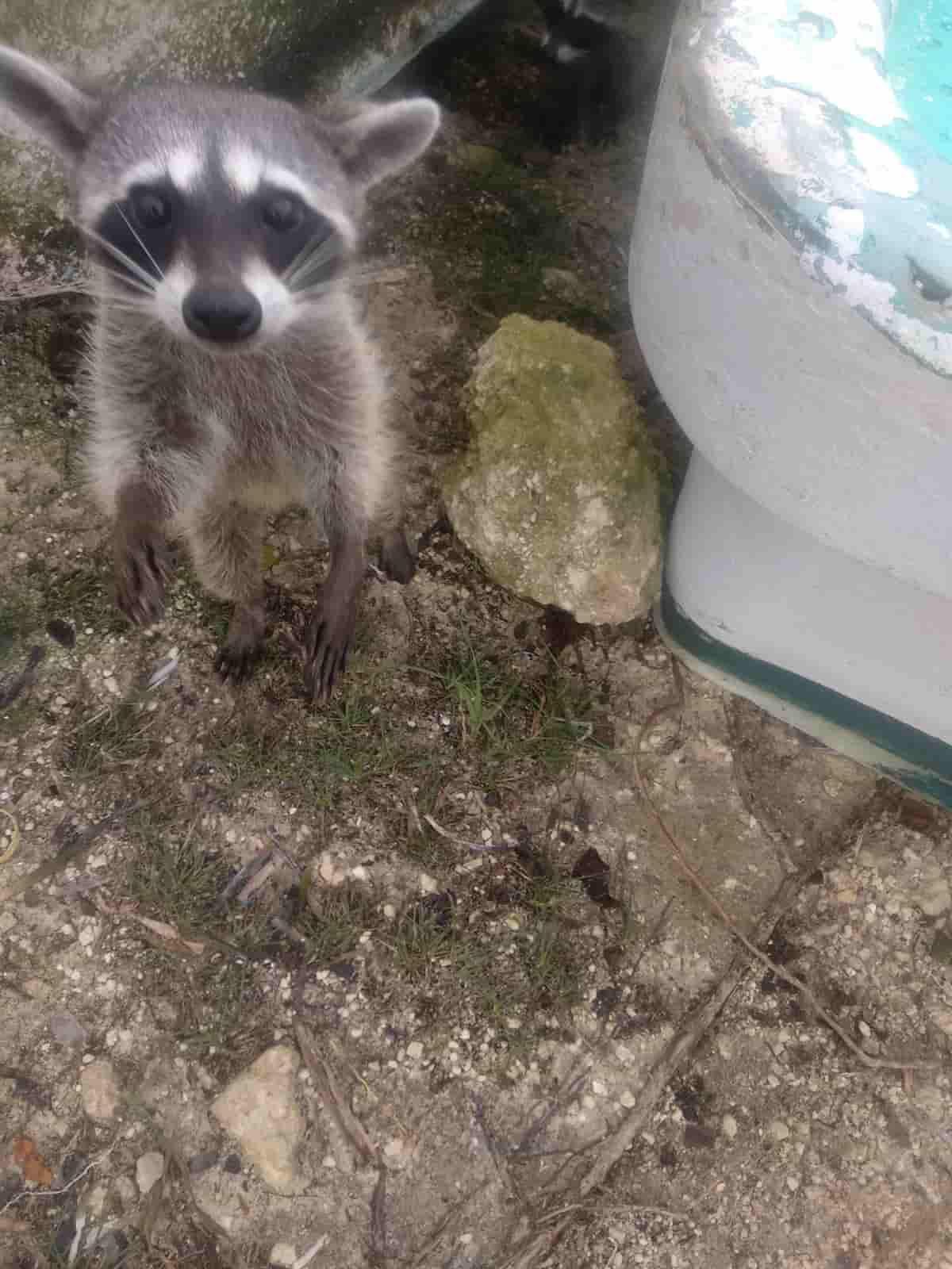 Dwarf raccoon