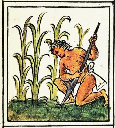 A man growing corn, Florentine Codex, 16th century.