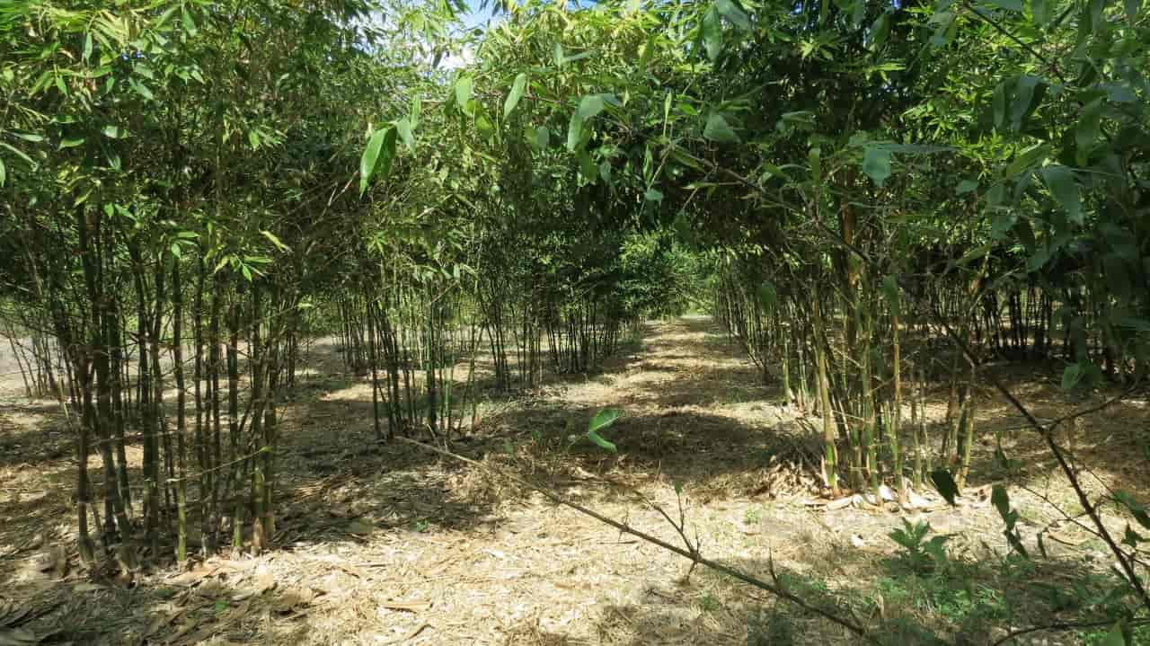 Bamboo in Colima