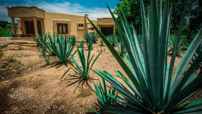 Tequila production: Agave plants.