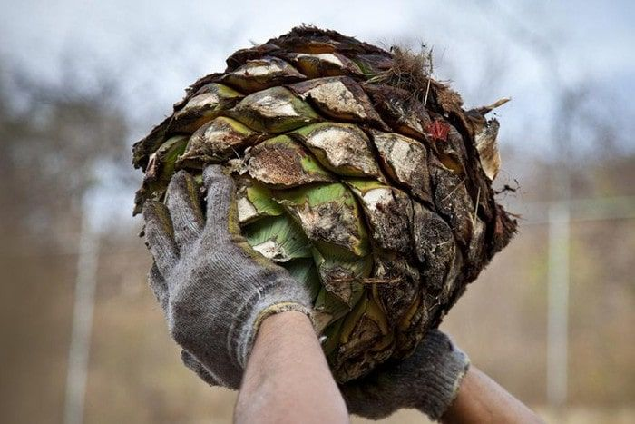 Mexican tequila production process.